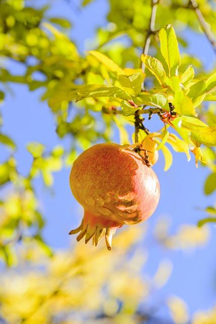 Grenadier, Grenade, Punica Granatum, Fruit Tree