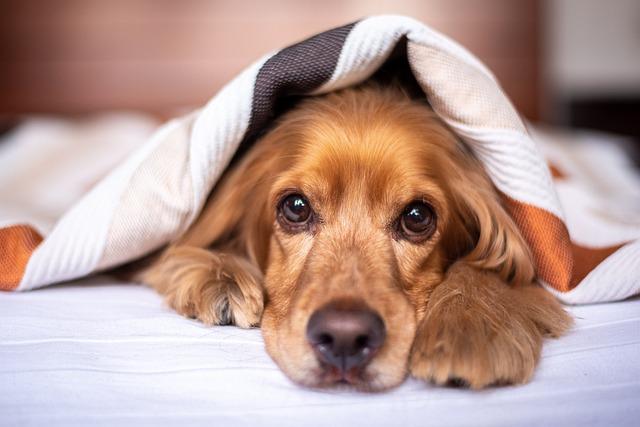English Cocker Spaniel, Dog, Puppy, Blanket, Pet, Pup