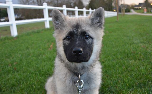 Dog, Pup, Eurasier, Canine, Animal, Puppy, Doggie, Cute