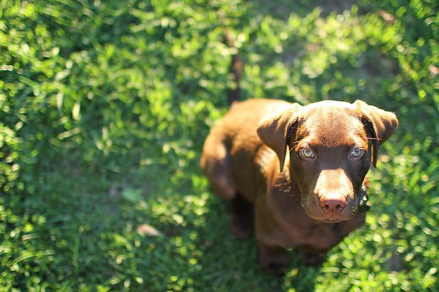 Pup, Puppy, Dog, Cute, Lab, Labrador, Chocolate, Grass