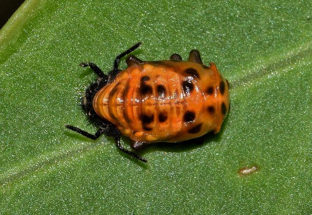 Pupa, Lady Beetle Pupa, Multicolored Asian Lady Beetle