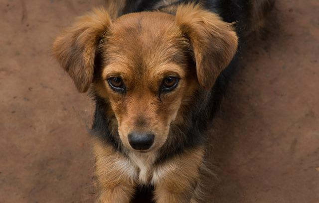 Animal, Canidae, Pet, Puppy, Nice, Small, Domestic, Fur