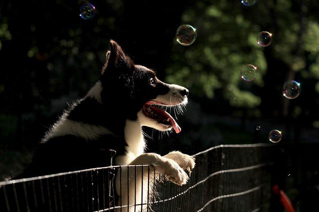 Dog, Puppy, Collie, Border Collie, Bubble, Bubbles