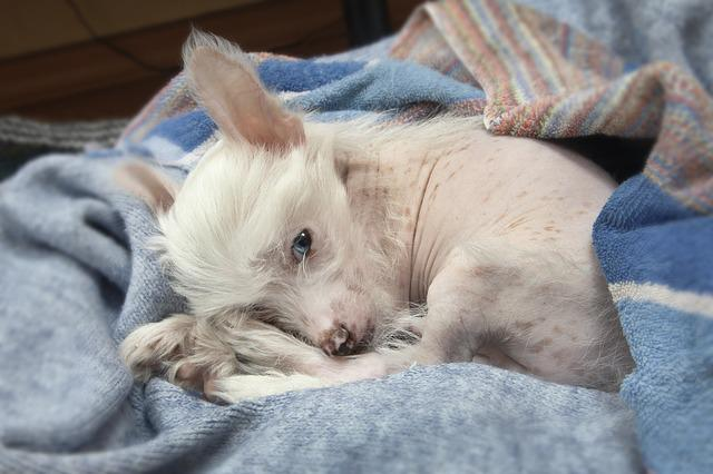 Puppy, Chinese Crested Dog, Blue-eyed Puppy