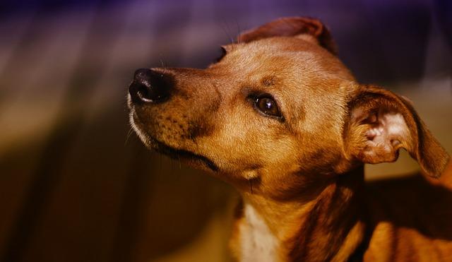 Puppy, Dog, Hybrid, Chiwawa Pinscher Mongrel, Pet