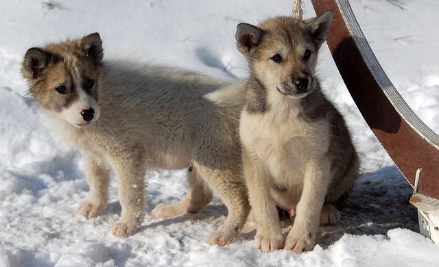 Greenland Dog, Dog, Puppy, Greenland