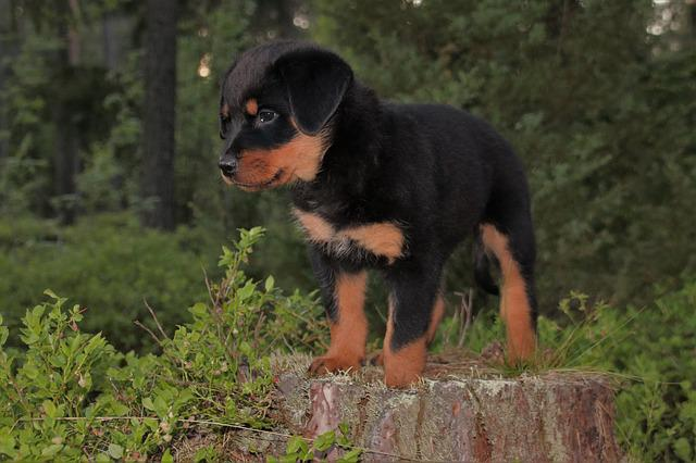 Rottweiler, Puppy, Dog, Forest, Pet, Animal, Summer