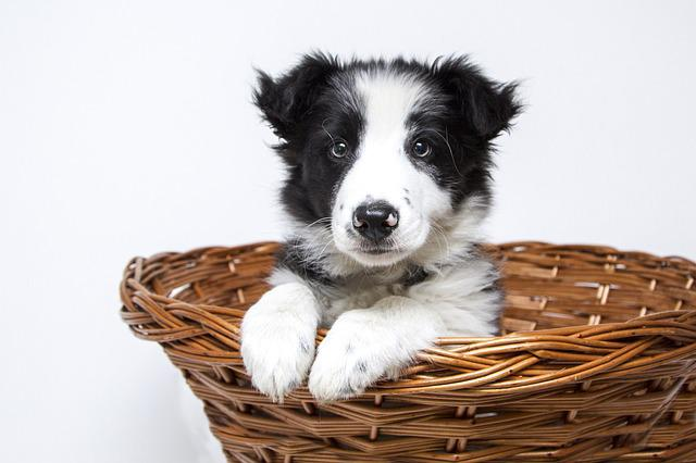 Puppy, Dogs, Collie, Cute, Pet, Sweet