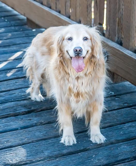 Dog, Canine, Golden Retriever, Cute, Animal, Puppy