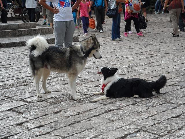 Huskies, Lijiang, Animal, Puppy, Meet, Only Street