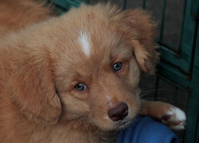 Nova Scotia Duck Tolling Retriever, Puppy, Toller