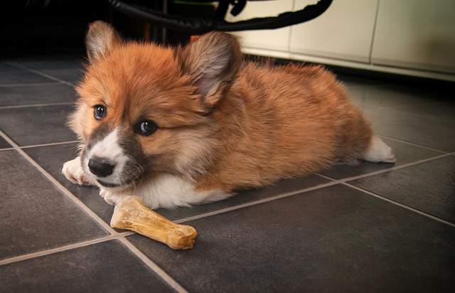 Welsh Corgi, Corgi, Dog, Pet, Puppy, Doggy, Animal