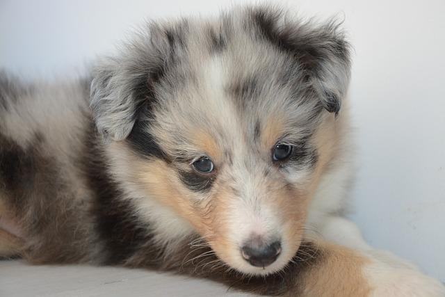 Puppy, Puppy Shetland Sheepdog, Pup, Dog Onyx