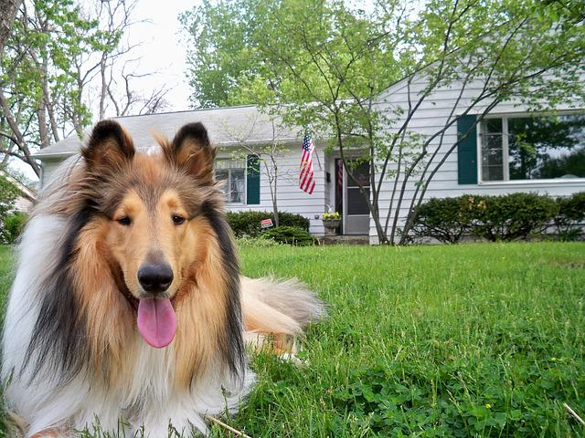 Collie, Dog, Pet, Doggy, Purebred, Rough, Lassie