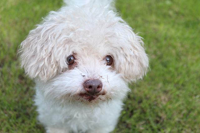 Animal, Dog, Bolonka Zwetna, Purebred Dog, Pet