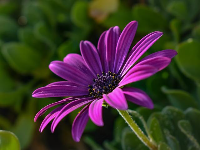 African Daisy, Osteospermum, Flower, Purple, Nature