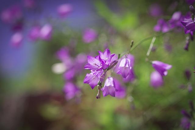 Bellflower, Purple, Purple Bellflower
