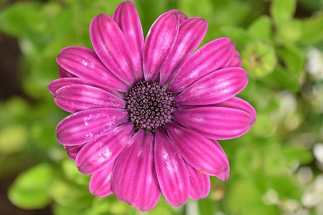 Cape Basket, Kapmargarithe, Blossom, Bloom, Purple