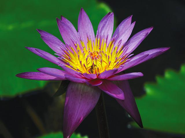 Water Lily, Flower, Pond, Aquatic, Purple, Water, Bloom