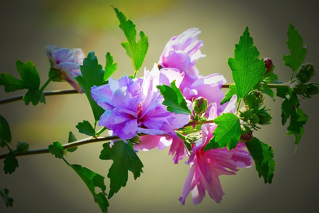 Hibiscus, Blossom, Bloom, Purple, Mallow, Close, Plant