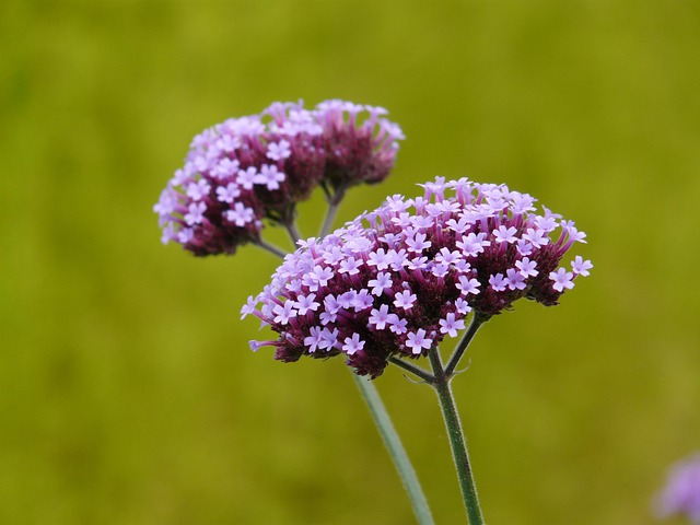 Verbena, Plant, Blossom, Bloom, Purple, Violet