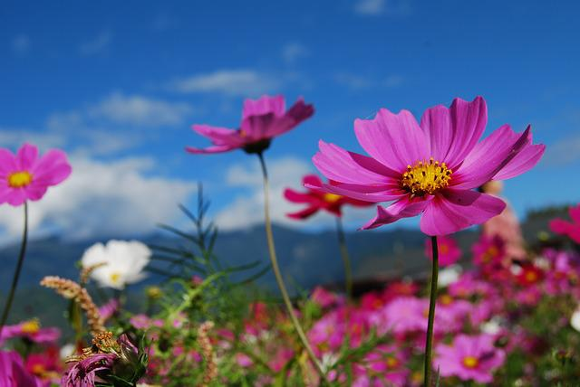Flower, Cosmos, Blue Sky, Purple, Flowers