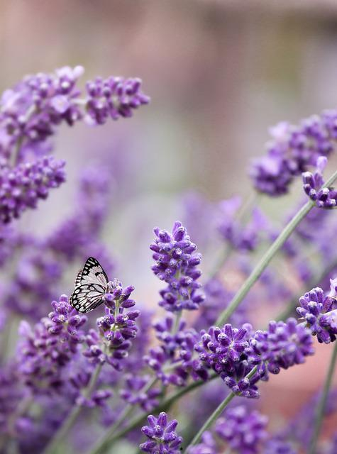 Lavender, Purple, Butterfly, June