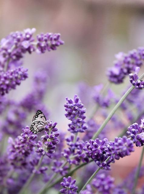 Lavender, Purple, Butterfly, June