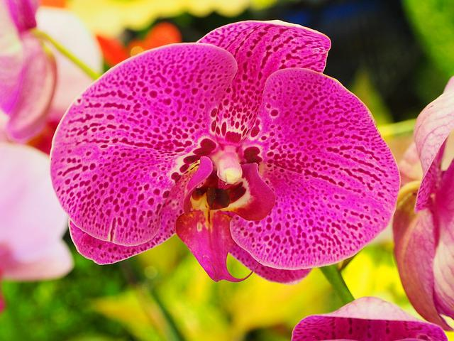 Butterfly The Falkland Islands, Orchid, Purple