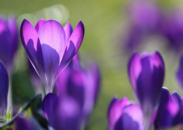 Crocus, Flowers, Flower, Purple, Close Up, Spring
