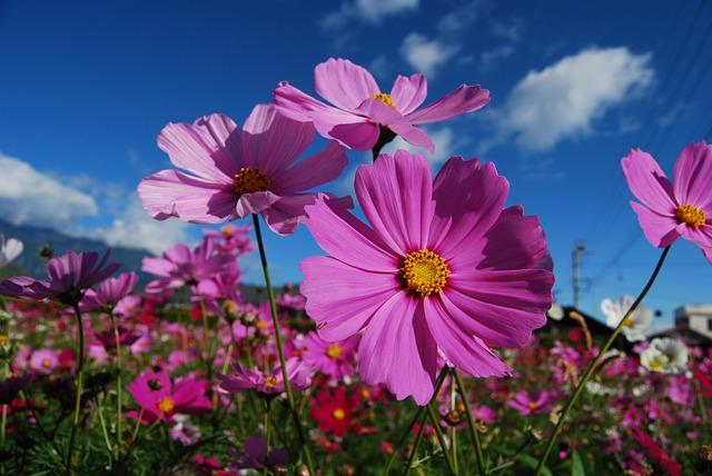 Cosmos, Flower, Purple, Flowers