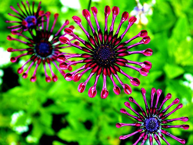 African Daisy, Osteospermum, Purple Daisy, Flower