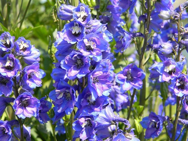 Delphinium, Purple Delphinium, Garden Flowers, Flower