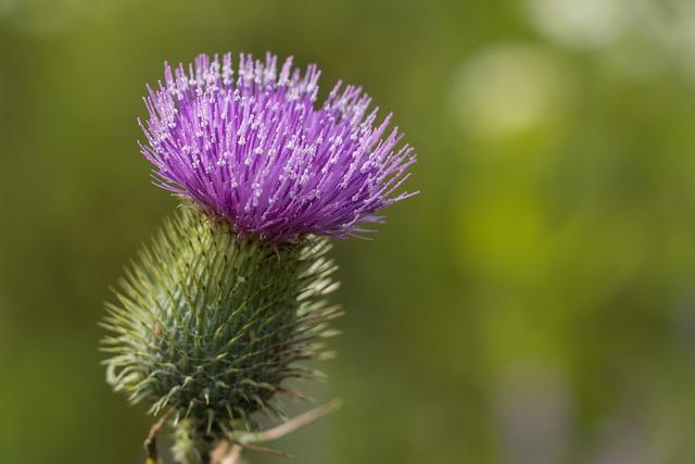 Nature, Plant, Flower, Barb, Purple, Field Plant