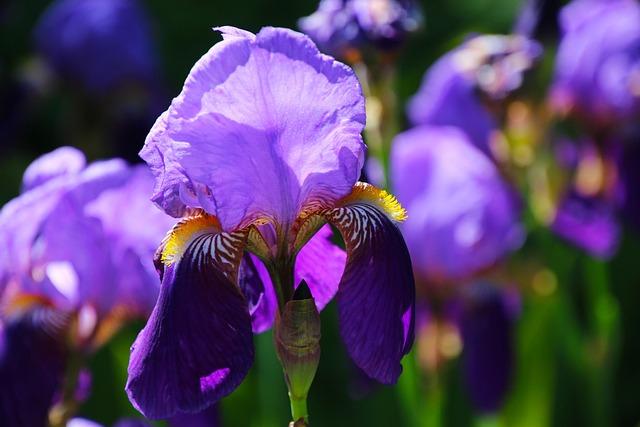 Iris, Flower, Floral, Blossom, Purple, Bloom, Nature