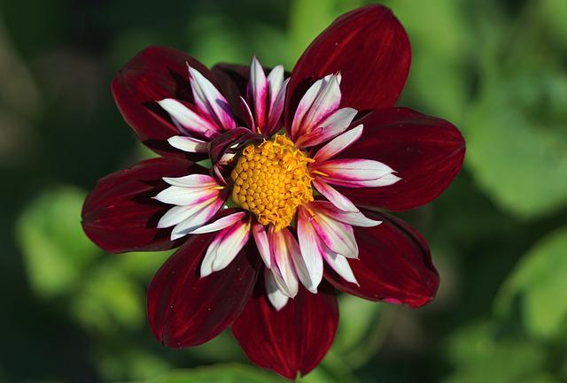 Dahlia, Purple, Blossom, Bloom, Red, Flower