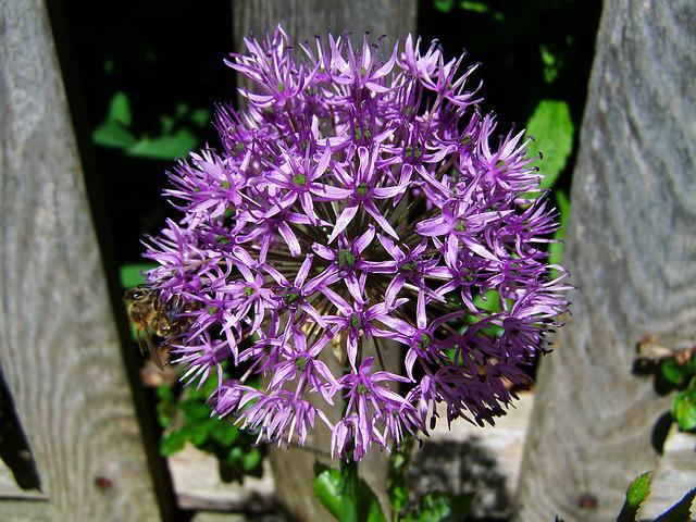 Flower Bulbs, Purple, Garden