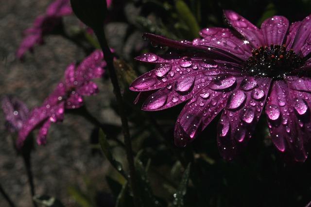 Rain, Purple, Flower, Purple Flower, Nature