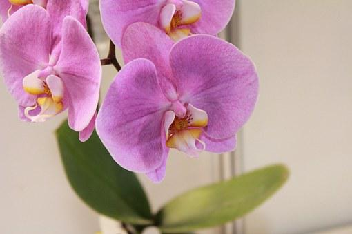 Flower, Orchid, Flowers, Purple
