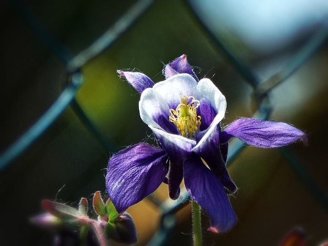 Columbine, Flower, Garden, Purple Flower