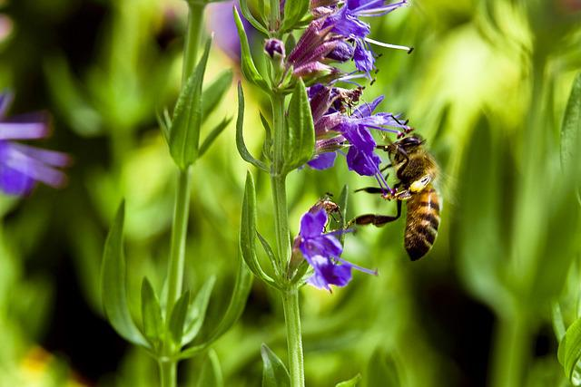 Bee, Hyssop, Flower, Purple