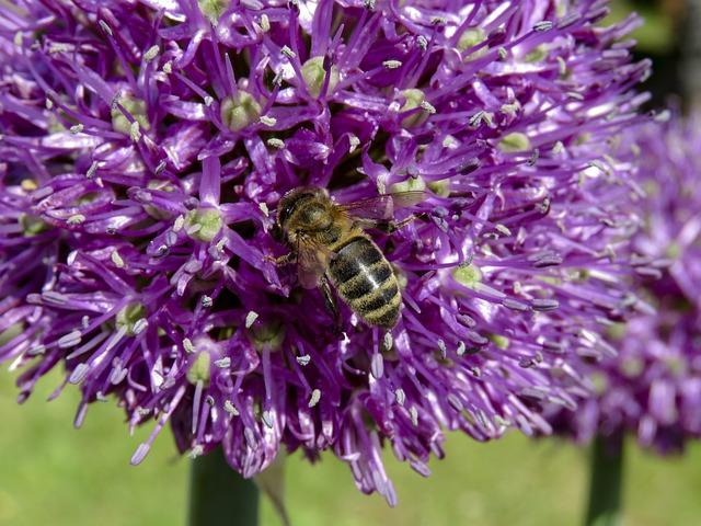 Flower, Purple, Bee, Insect, Rocambole, Plant, Macro