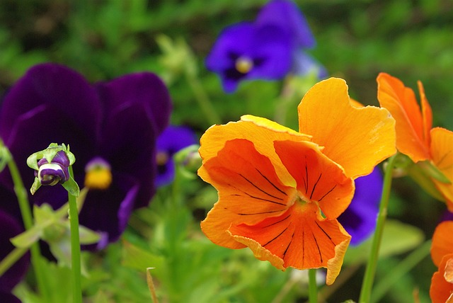 Pansy, Plant, Flower, Nature, Spring, Flowers, Purple
