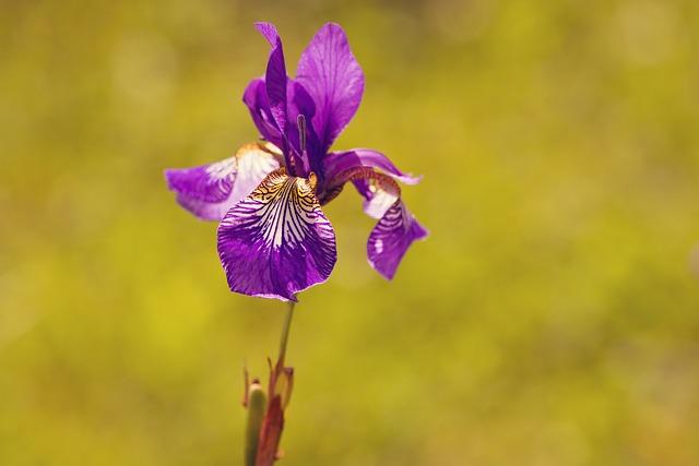 Iris, Plant, Flower, Purple, Violet, Purple Flower