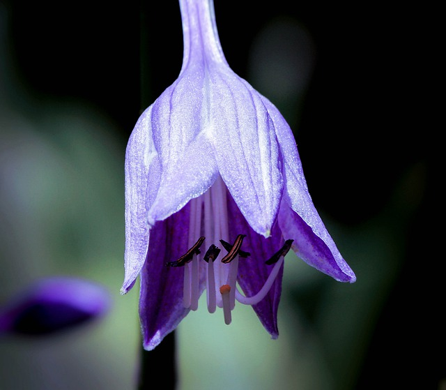 Hosta, Hosta Flower, Purple Flower, Purple Blossom