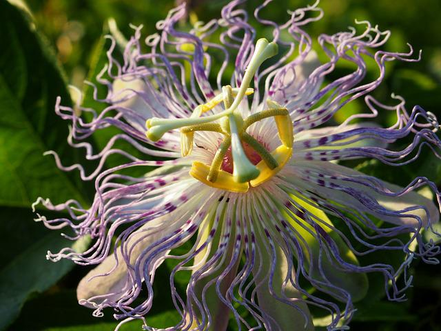 Purple Passion Flower, Passion Flower, Purple Flower