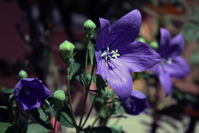 Flower, Balloon Flower, Blossom, Bloom, Purple, Sun