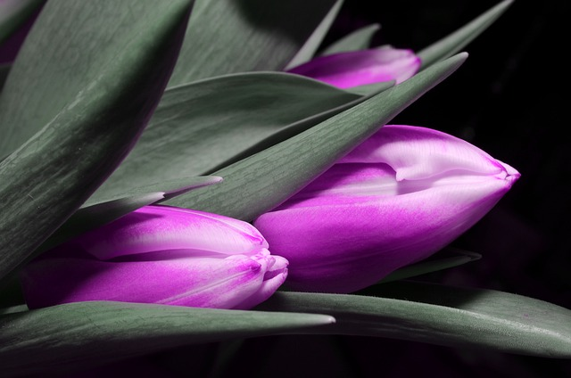 Tulip, Purple, Flower