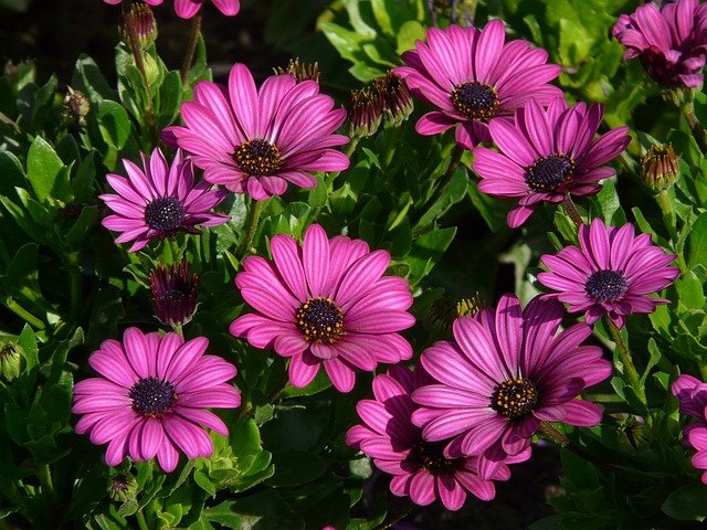 Garden, Plant, Flowers, Purple Flowers, African Daisies