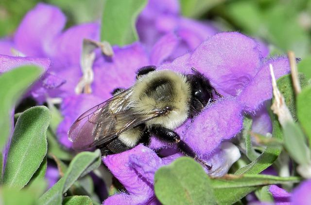 Bee, Bumblebee, Flowers, Purple Flowers, Barometer Bush